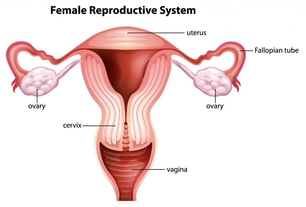 Womb And Fallopian Tubes Ivf Clinic Concept Fertility
